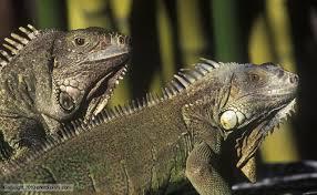 Good Lizards